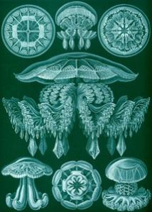 Ernst Haeckel. Discomedusae. Plaat 88 uit Kunstformen der Natur.